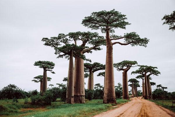 baobao tree of life